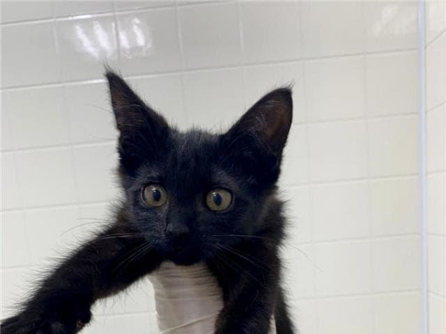 Отдам в дар: Котенок Пума в добрые руки фото2
