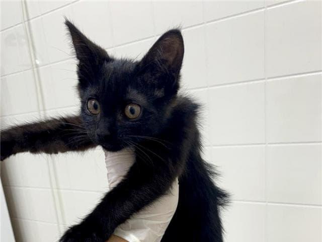 Отдам в дар: Котенок Пума в добрые руки фото3