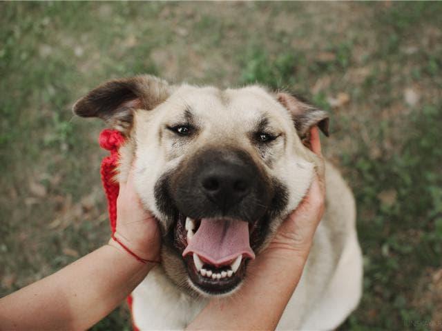 Отдам в дар: Большая собака Арья в добрые руки
