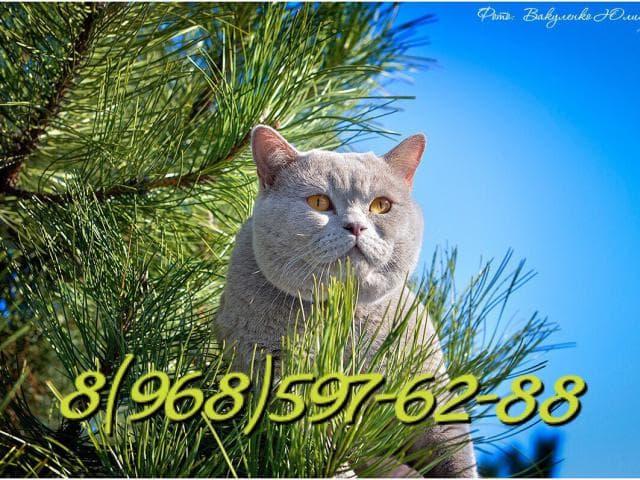 Вязка: вязка британский кот-чемпион