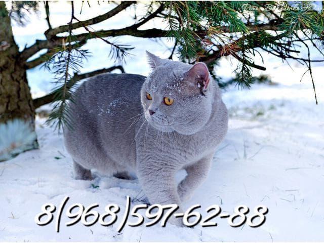 Вязка: вязка британский кот-чемпион фото2