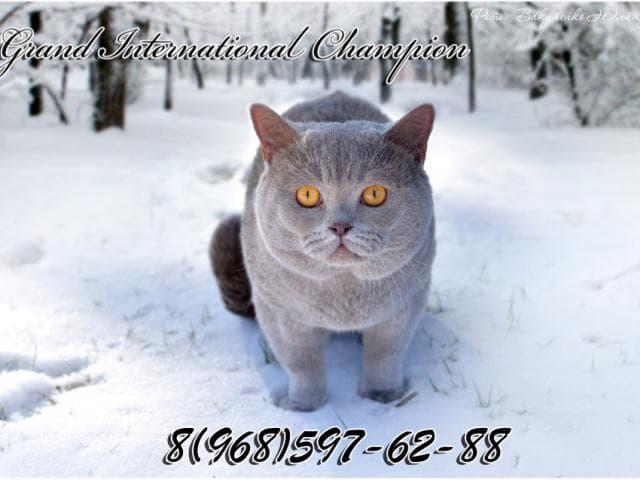 Вязка: вязка британский кот-чемпион фото3
