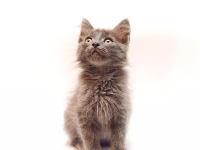 Отдам в дар: Самсон-самый ласковый и нежный котенок