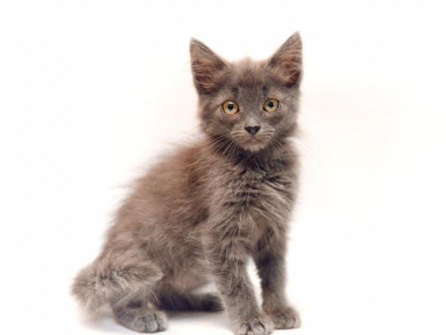 Отдам в дар: Самсон-самый ласковый и нежный котенок фото2