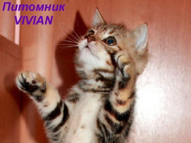 Продаю: Британские котята черный мрамор из питомника
