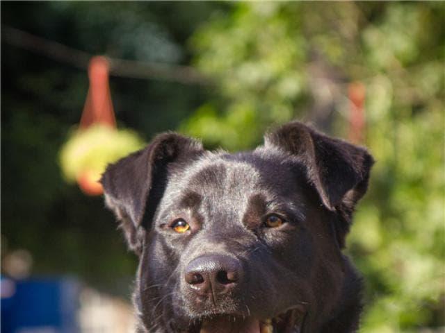 Отдам в дар: Крупный пёс Дамир в добрые руки фото2