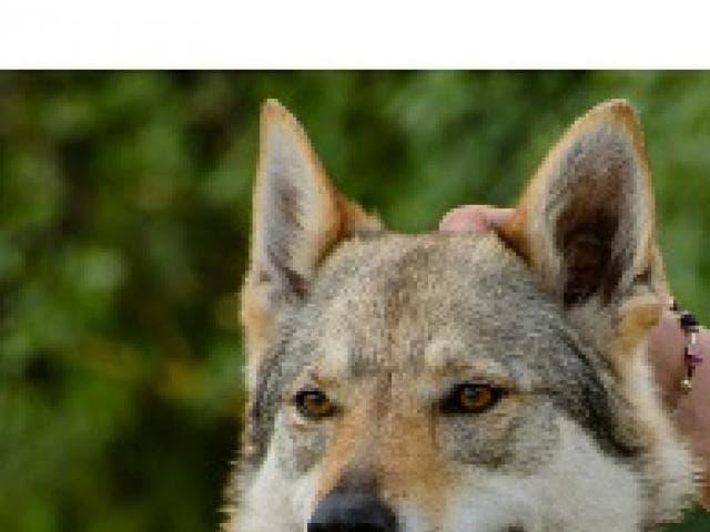 Продаю: тся щенки чехословацкого влчака фото2