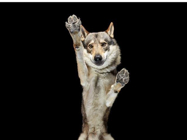 Продаю: тся щенки чехословацкого влчака