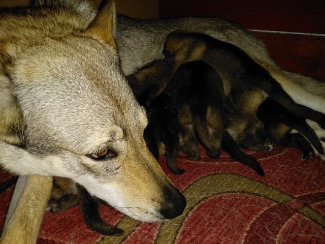 Продаю: тся щенки чехословацкого влчака фото3