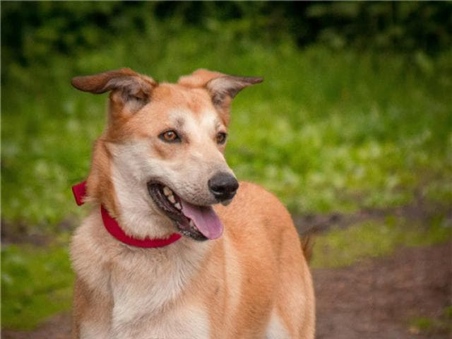 Отдам в дар: Изящная, красивая собака Айрис в добрые руки фото3
