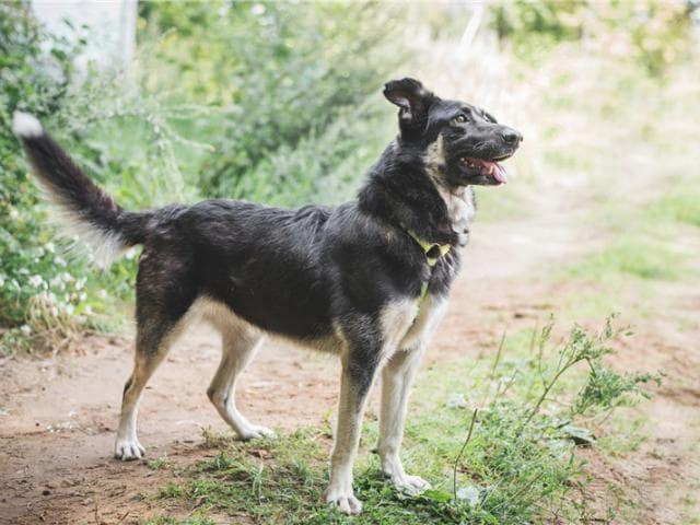 Отдам в дар: Чудесная собака Лада в добрые руки фото3