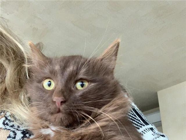 Отдам в дар: Шоколадные котята в добрые руки фото2