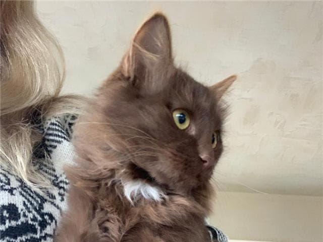 Отдам в дар: Шоколадные котята в добрые руки фото3