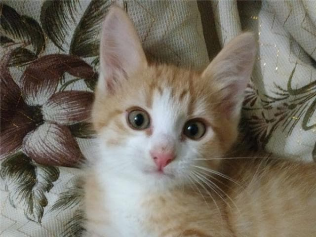 Отдам в дар: Котенок Шустрик в дар