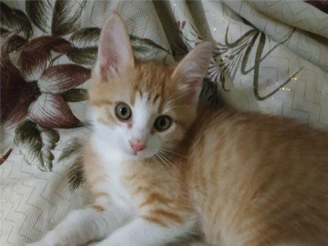Отдам в дар: Котенок Шустрик в дар фото3