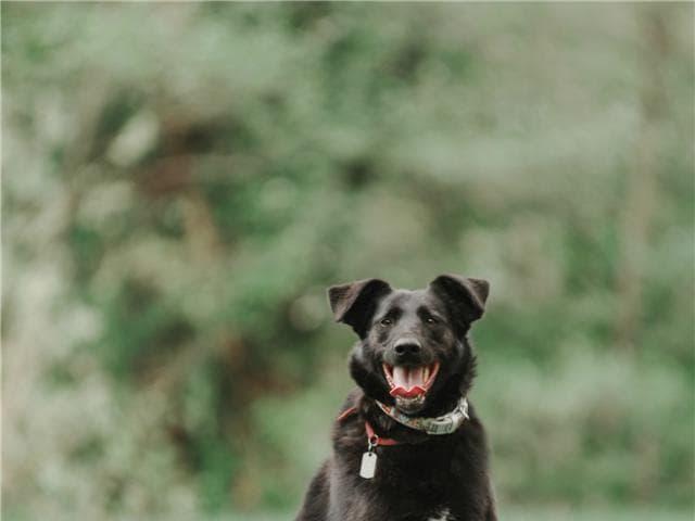 Отдам в дар: Чудесная собака Берта в добрые руки фото2