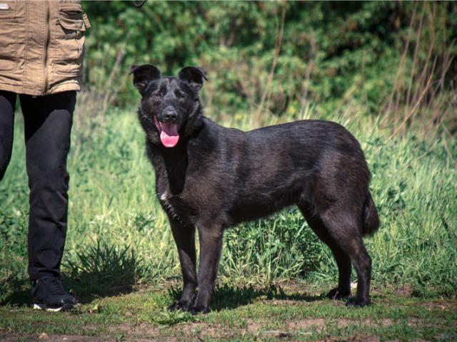 Отдам в дар: Чудесная собака Берта в добрые руки фото3