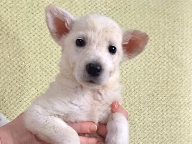 Отдам в дар: Чудесные щенки в добрые руки
