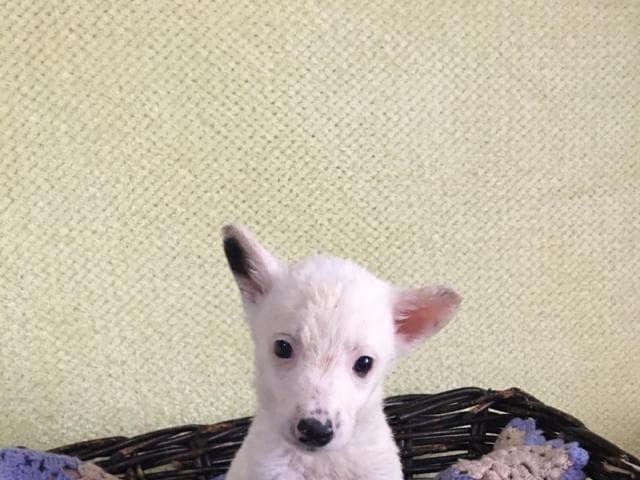 Отдам в дар: Чудесные щенки в добрые руки фото3