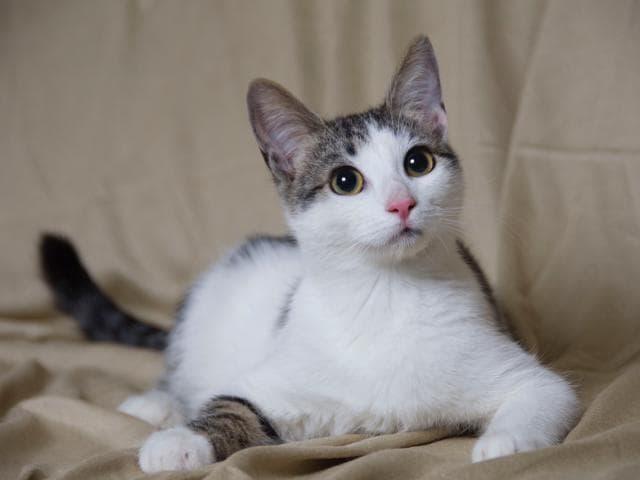 Отдам в дар: Котята Кузя, Барсик и Василиса ищут дом фото2