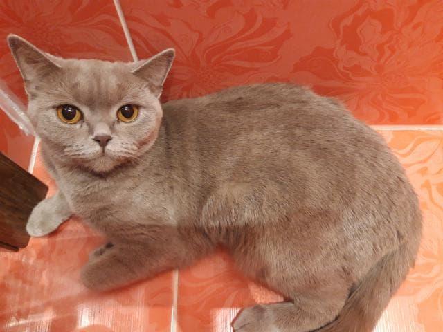 Отдам в дар: Отдадим Британскую кошку-бесплатно