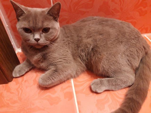 Отдам в дар: Отдадим Британскую кошку-бесплатно фото2