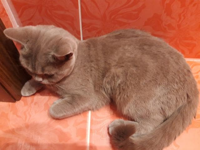 Отдам в дар: Отдадим Британскую кошку-бесплатно фото3
