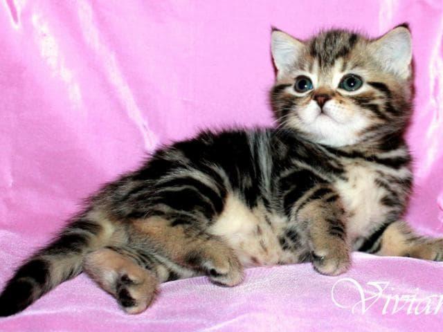 Продаю: Британские котята черный мрамор из питомника фото2