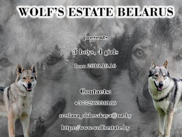 Продаю: Чехословацкий влчак щенки фото2