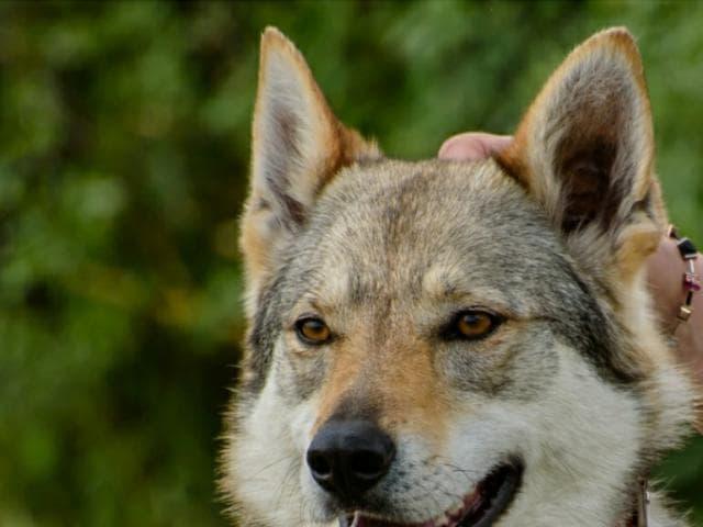 Продаю: Чехословацкий влчак щенки фото3