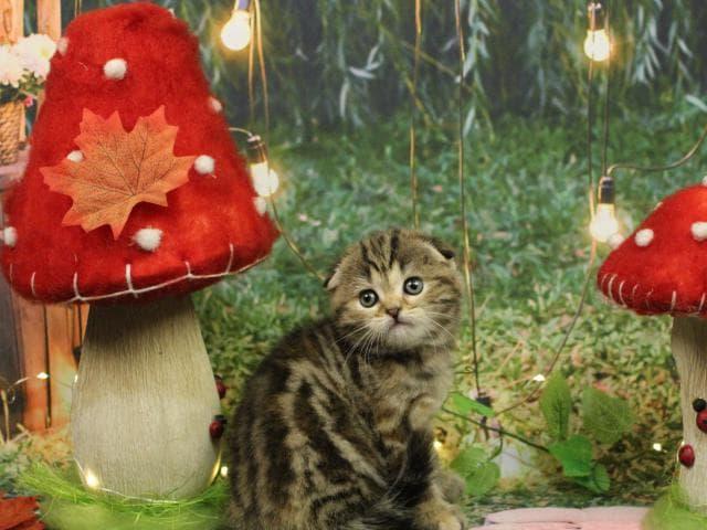Продаю: Красотка Нуга породы скоттиш-фолд ждёт свою семью