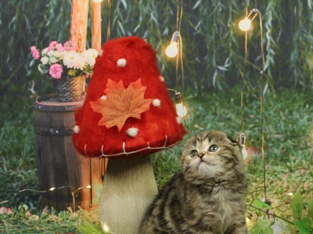 Продаю: Красотка Нуга породы скоттиш-фолд ждёт свою семью фото3