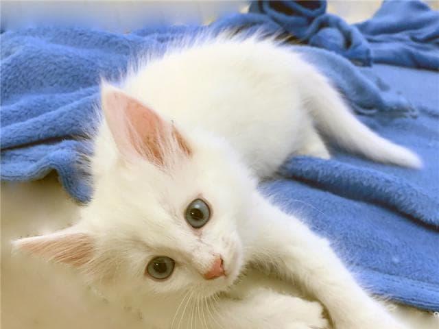 Отдам в дар: Четыре пушистых котёнка 2,5 мес в добрые руки