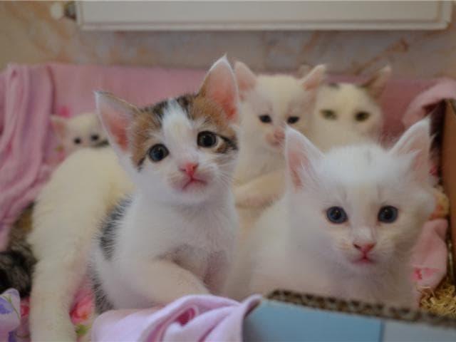 Отдам в дар: Четыре пушистых котёнка 2,5 мес в добрые руки фото2