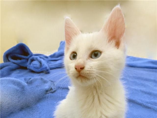 Отдам в дар: Четыре пушистых котёнка 2,5 мес в добрые руки фото3