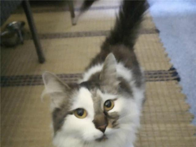 Отдам в дар: Молоденькая кошечка Иксюша ищет дом  фото3