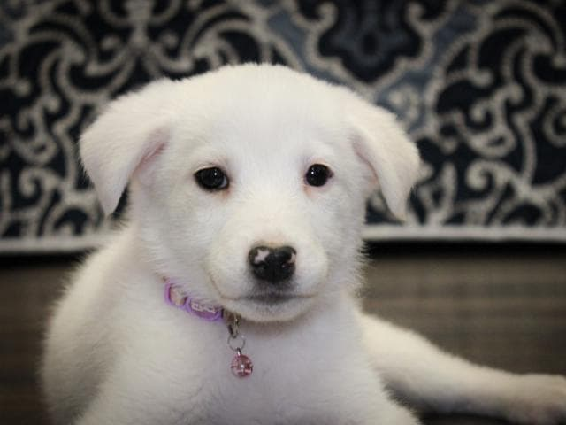 Отдам в дар: Маленькая щено-девочка Милочка в добрые руки