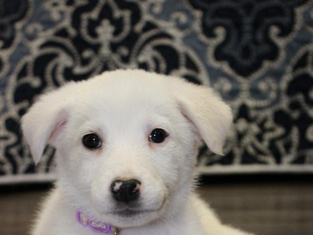 Отдам в дар: Маленькая щено-девочка Милочка в добрые руки фото2