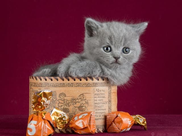 Продаю: Настоящие британские котята