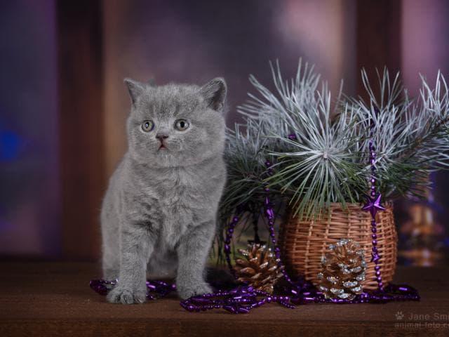 Продаю: Настоящие британские котята фото2