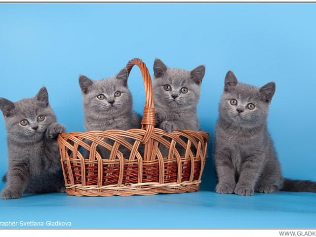 Продаю: Настоящие британские котята фото3
