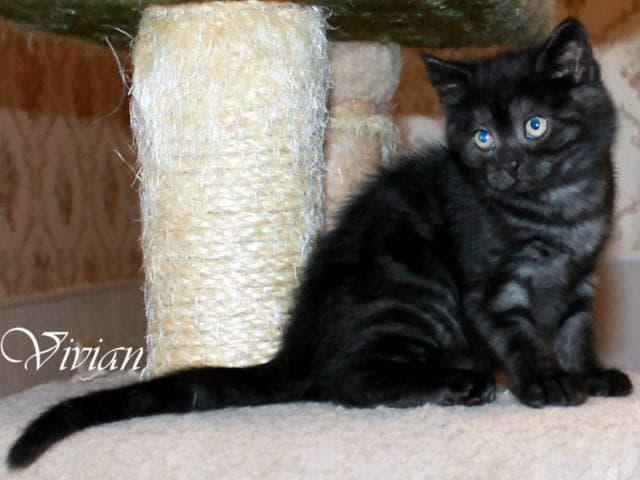 Продаю: Британские котята черные и черный дым