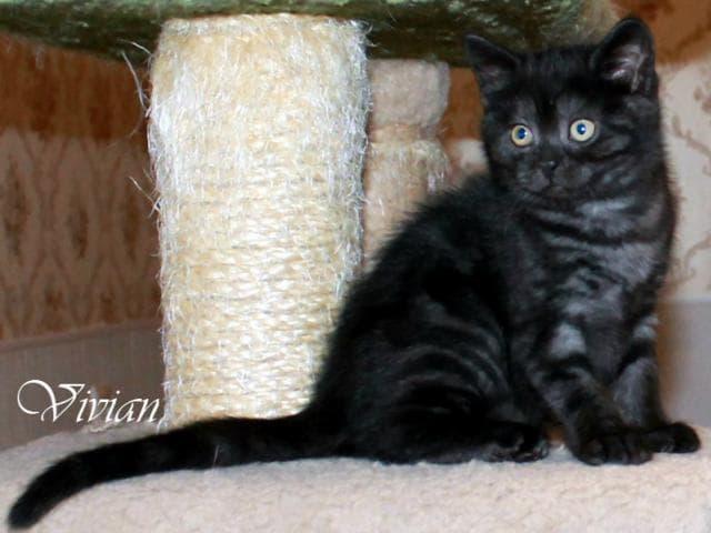 Продаю: Британские котята черные и черный дым фото2