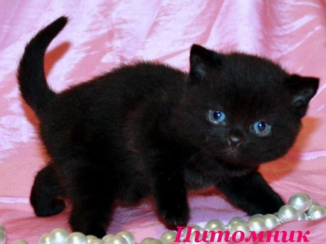 Продаю: Британские котята черные и черный дым фото3