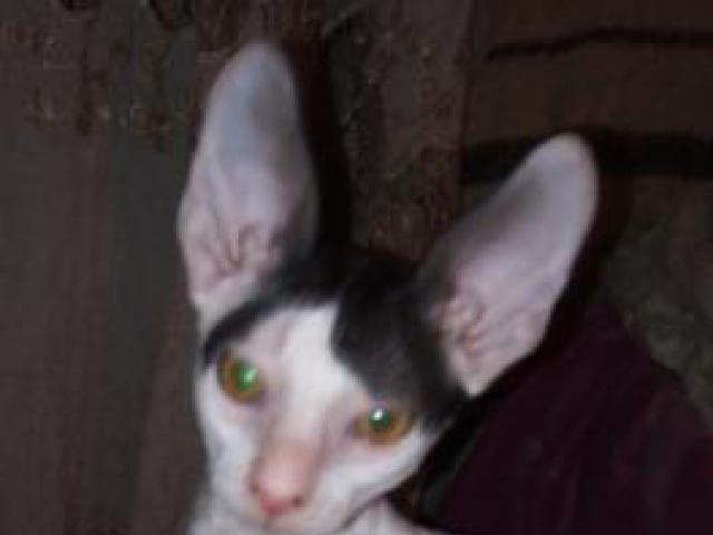 Продаю: Котята породы корниш рекс фото2