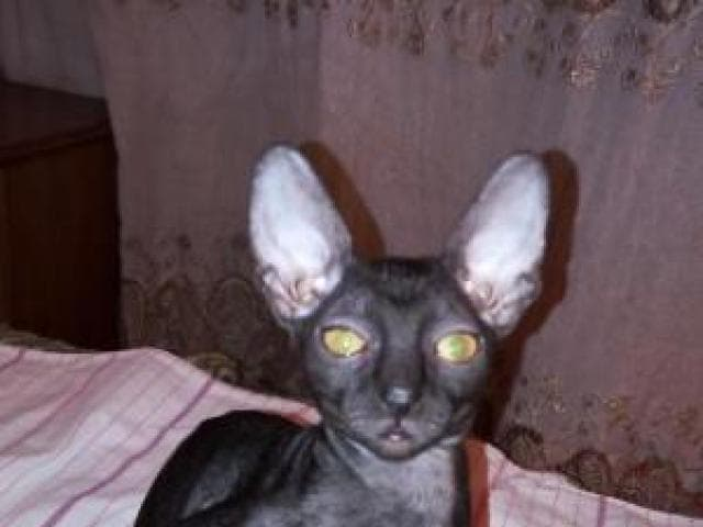 Продаю: Котята породы корниш рекс фото3