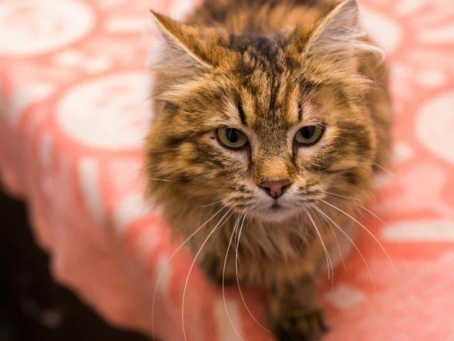 Отдам в дар: Кошечка Нора (2 года) в добрые руки