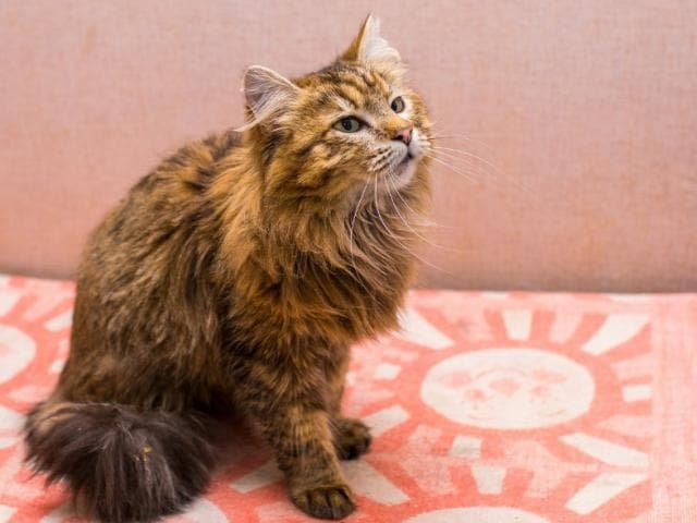 Отдам в дар: Кошечка Нора (2 года) в добрые руки фото2