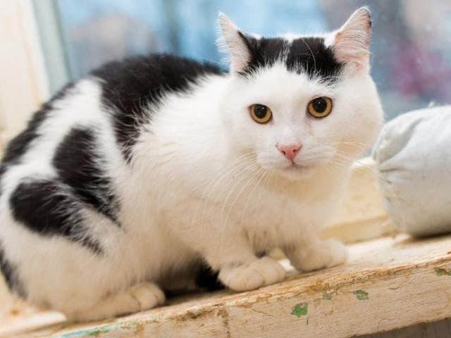 Отдам в дар: Нежный, трогательный котик Цезарь в добрые руки фото2