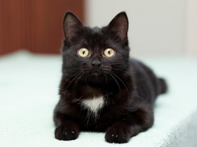 Отдам в дар: Маленькая Баги котенок-егоза в добрые руки